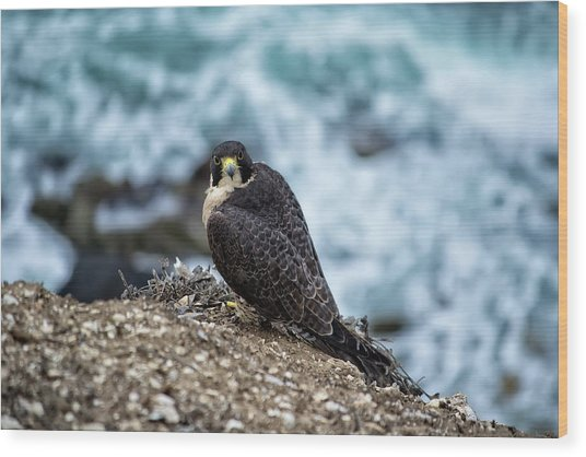 Peregrine Falcon - Here's Looking At You Wood Print