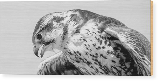 Peregrine Falcon In Black And White Wood Print