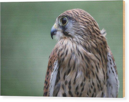 European Kestrel Wood Print