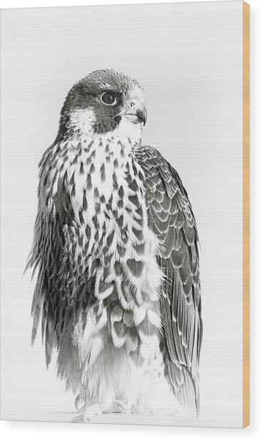 Peregrine Falcon Portrait Wood Print
