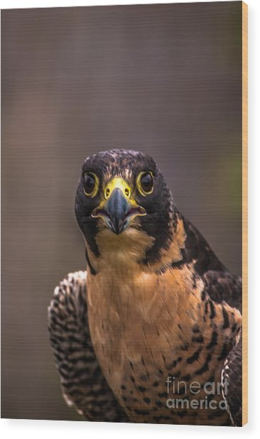 Peregrine Falcon Profile 2 Wood Print