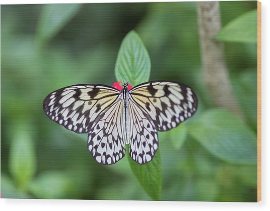 Wood Print featuring the photograph Perfect Butterfly Pose by Raphael Lopez