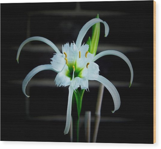 Peruvian Daffodil - 8x10 Wood Print by B Nelson