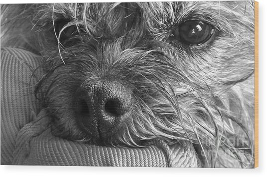 Wood Print featuring the photograph Pet Portrait - Puck II by Laura Wong-Rose