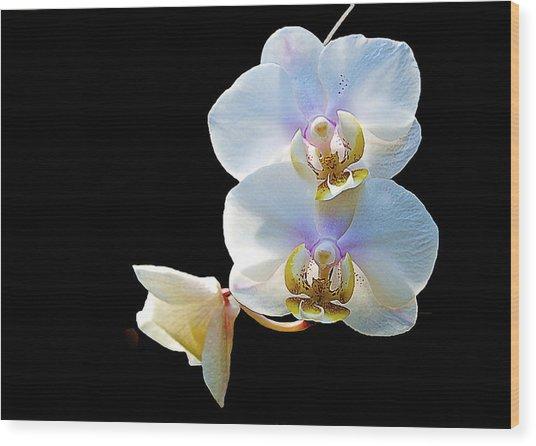 Phalaenopsis Culican #1 Nobby's Amy Shin Hua Wood Print
