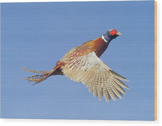 Pheasant Wings Wood Print