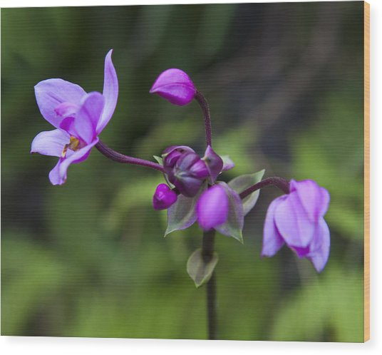 Philippine Ground Orchid Wood Print