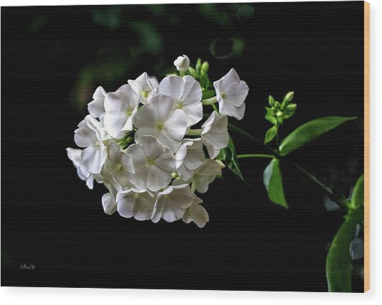 Phlox Flowers Wood Print