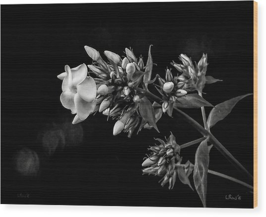 Phlox In Black And White Wood Print