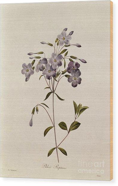 Phlox Reptans Wood Print