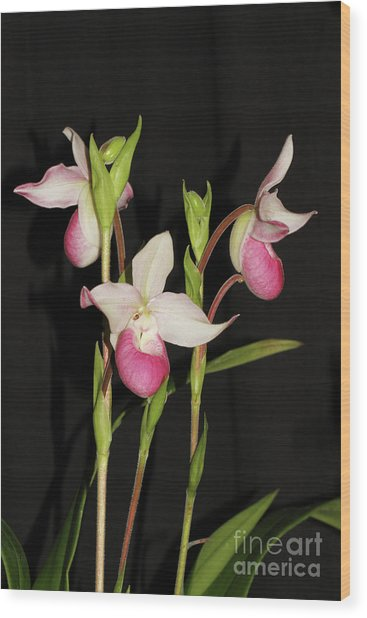 Phragmipedium Cardinale Wacousta Orchid Wood Print