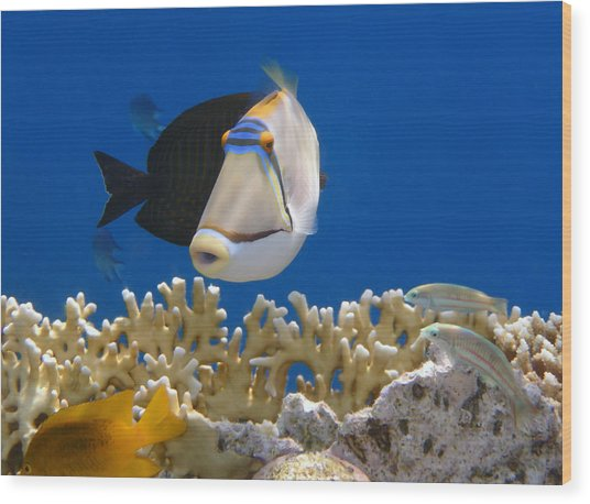 Picasso Fish And Klunzingerwrasse Wood Print