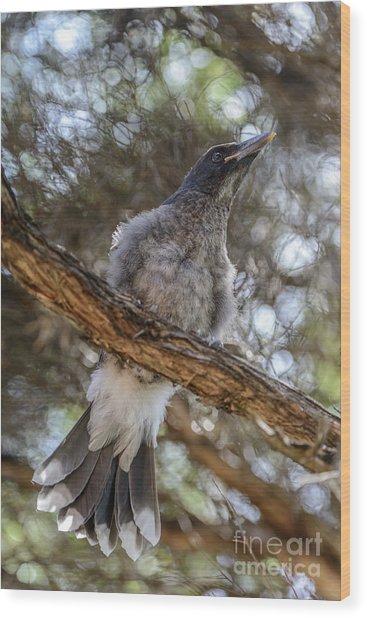 Pied Currawong Chick 1 Wood Print