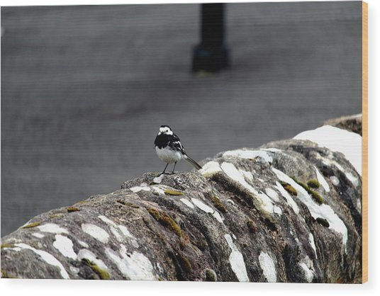 Pied Wagtail Wood Print