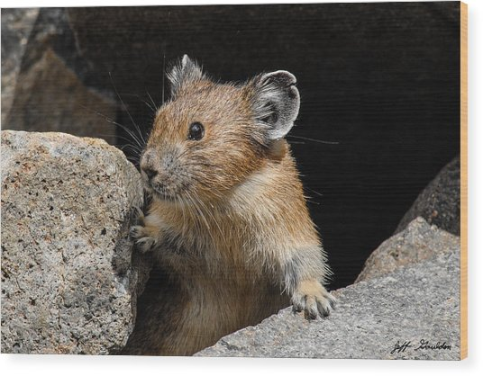Pika Looking Out From Its Burrow Wood Print