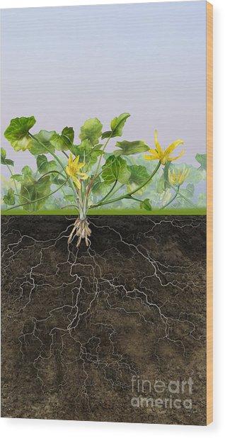 Pilewort Or Lesser Celandine Ranunculus Ficaria - Root System -  Wood Print