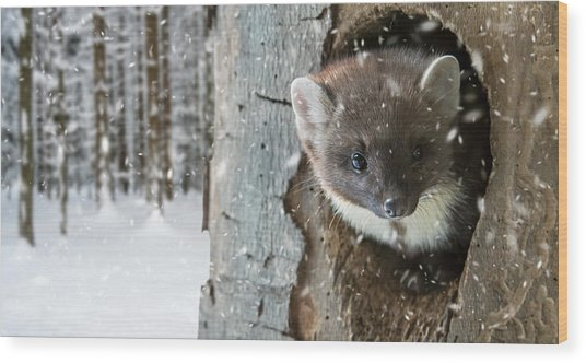 Pine Marten In Tree In Winter Wood Print