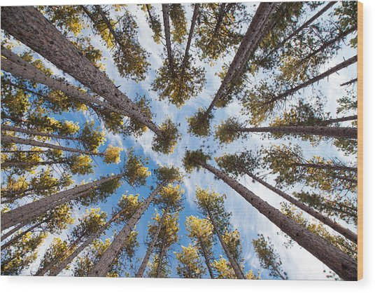 Pine Tree Vertigo Wood Print
