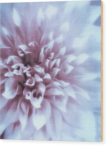 Pink And Blue Dahlia Wood Print