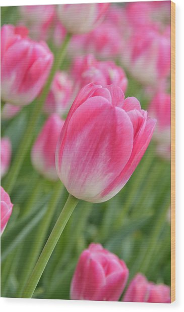 Pink And Green Wood Print by Lyle  Huisken
