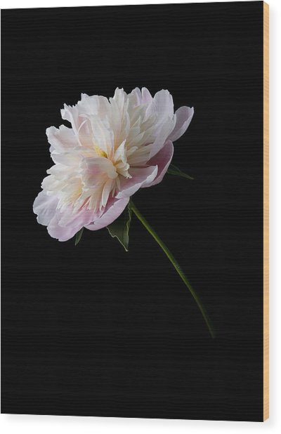 Pink And White Peony Wood Print