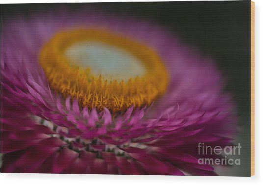 Pink And Yellow Strawflower Close-up Wood Print