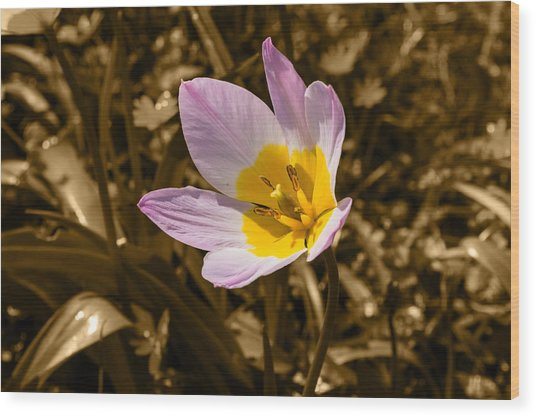 Pink And Yellow Tulip On Sepia Background Wood Print