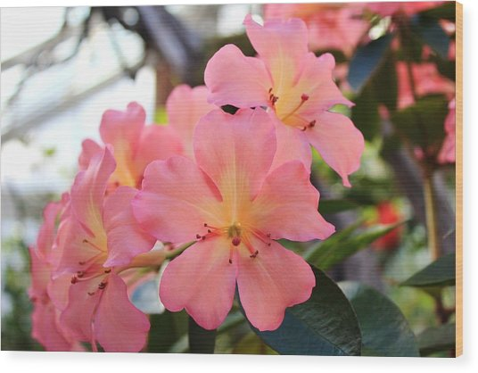 Pink And Yellow Vireya Wood Print