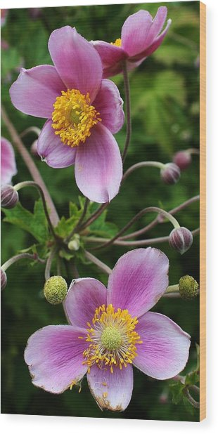Pink Anemone Delight Wood Print