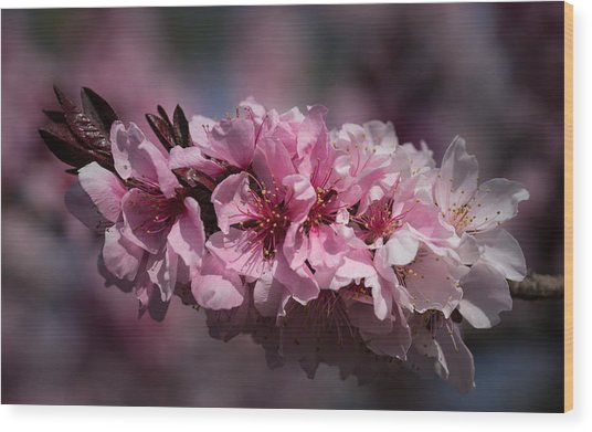 Cherry Blossoms Wood Print by Denise McKay