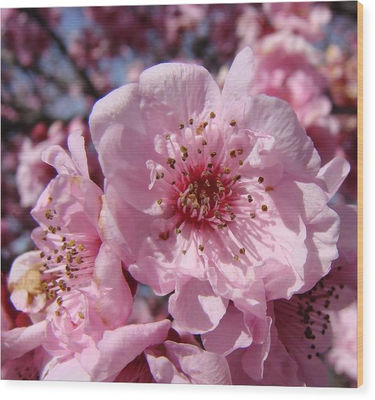 Pink Blossoms Wood Print by Liz Vernand
