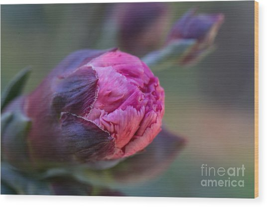 Pink Carnation Bud Close-up Wood Print