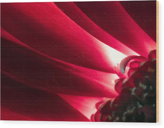 Pink Chrysanthemum Flower Petals  In Macro Canvas Close-up Wood Print
