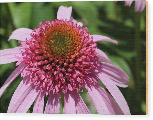 Pink Coneflower Close-up Wood Print