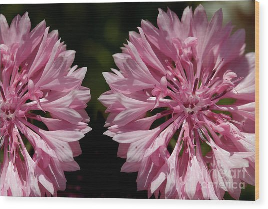 Pink Cornflowers Wood Print