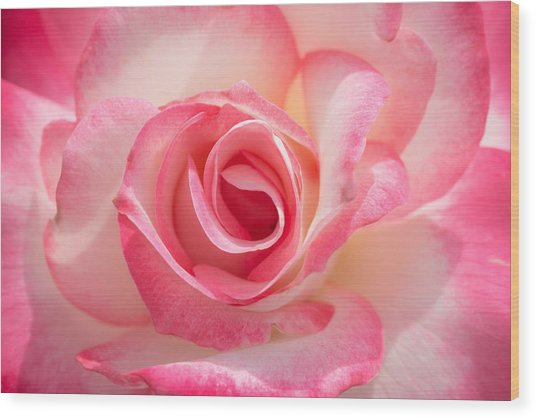 Pink Cotton Candy Rose Wood Print