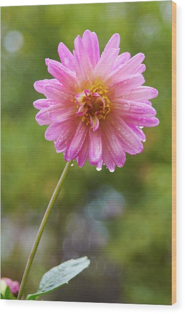 Pink Dahlia 2 Wood Print