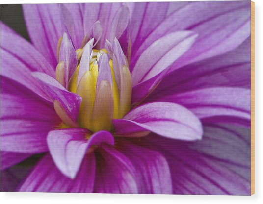 Pink Dahlia  Wood Print