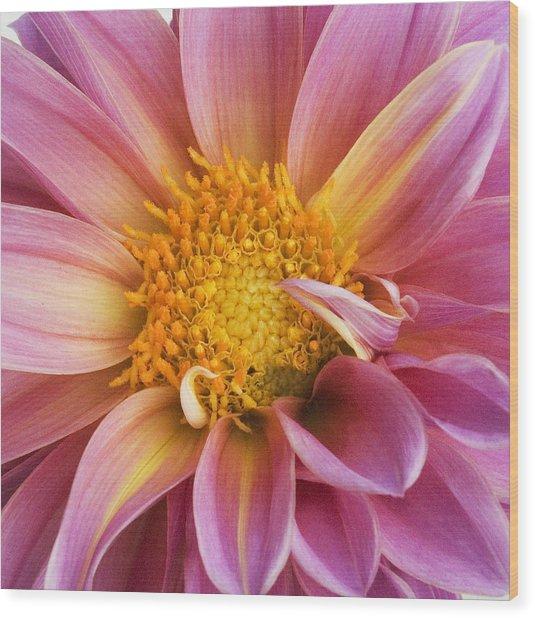 Pink Dahlia Wood Print by Tony Ramos