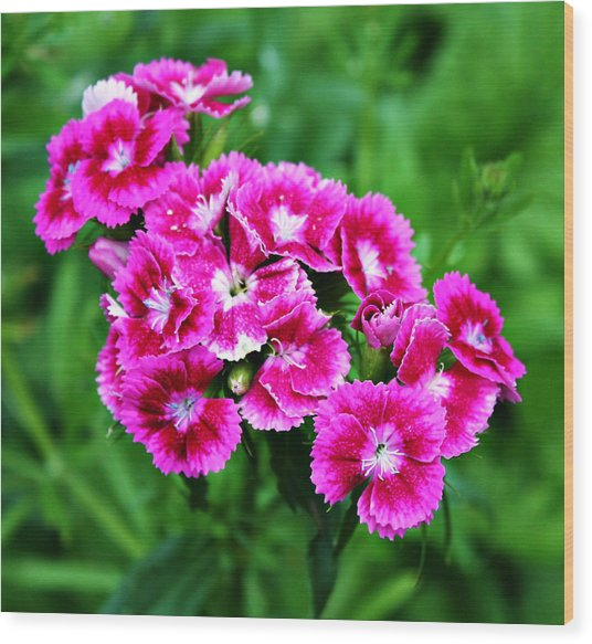 Pink Dianthus Wood Print by Cathie Tyler