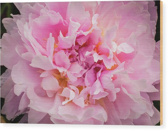 Pink Double Peony Wood Print