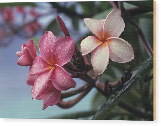 Pink Frangipani Flower And Raindrops Wood Print by Don Kreuter