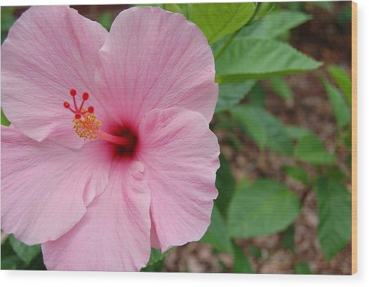 Pink Hibiscus Wood Print by Beverly Hammond