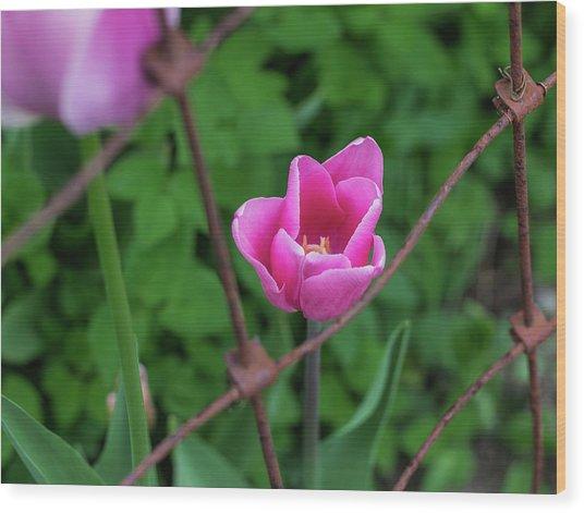 Pink In Stratford Wood Print