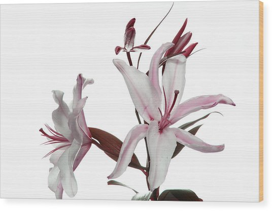 Pink Lily Wood Print by Peter Dorrell