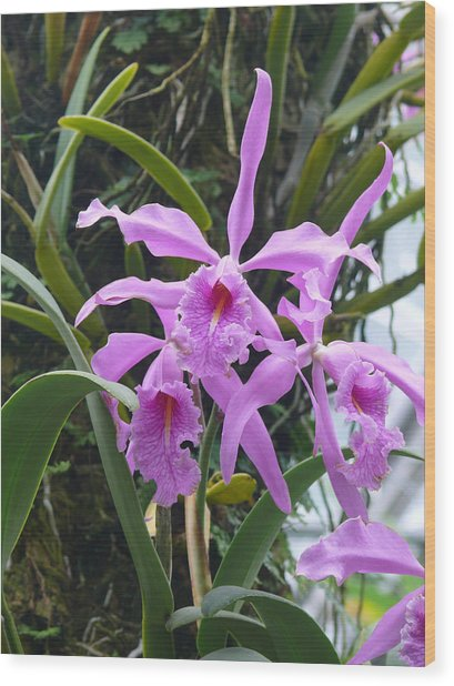 Pink Orchids Wood Print