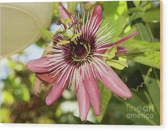 Pink Passiflora Wood Print