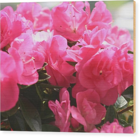 Pink Passion Wood Print by Amy Holmes