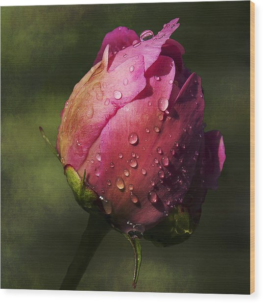 Pink Peony Bud With Dew Drops Wood Print