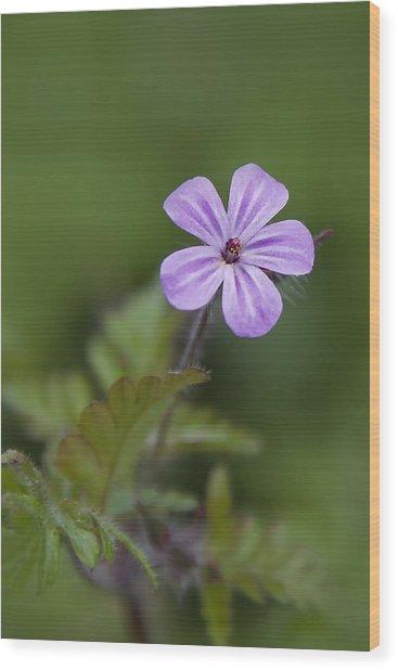 Pink Phlox Wildflower Wood Print